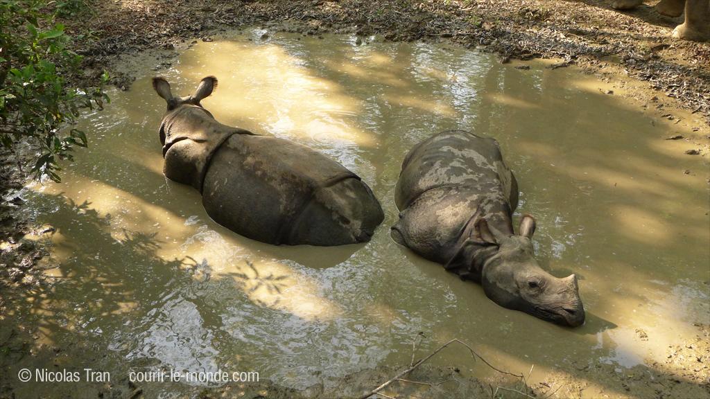 Jeunes rhinocéros unicorne, parc de Chitwan au Népal